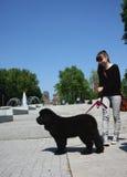 Newfoundlander puppy Stock Images