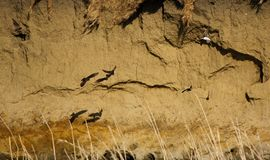 Sand Martins in the Ribble. stock image