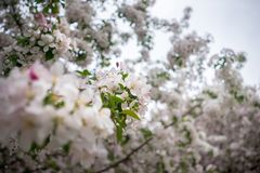 Newly bloomed cherry tree blossoms up close royalty free stock photos