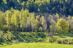Newly blossomed birch trees in spring. Landscape royalty free stock photography