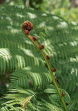 Newly blossoming fern growth Royalty Free Stock Photos