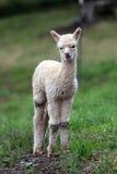 Newly born Alpaca. New Born Alpaca at an Oregon Farm Stock Photos