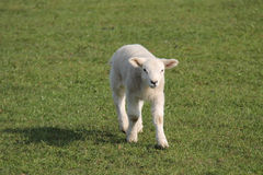 Newly Born Baby Lamb. Stock Photos