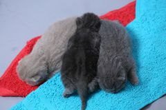 British Shorthair babies portrait, isolated. Newly born British Shorthair kitten portrait, close-up view, copyspace, isolated royalty free stock photo