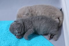 British Shorthair babies portrait, isolated. Newly born British Shorthair kitten portrait, close-up view, copyspace, isolated stock image