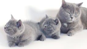 British Shorthair kittens portrait, white background, isolated stock footage