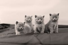 British Shorthair kittens portrait,. Newly born British Shorthair kittens and mother portrait, close-up view, , copyspace Stock Image