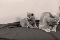 British Shorthair kittens portrait and mother, portrait. Newly born British Shorthair kittens and mother portrait, close-up view, , copyspace Stock Photography