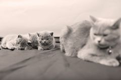British Shorthair kittens portrait, isolated. Newly born British Shorthair kittens and mother portrait, close-up view, isolated, copyspace Royalty Free Stock Photos