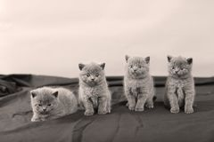 Four kittens portrait, black background,. Newly born British Shorthair kittens portrait, close-up view, on black background, copyspace stock photos