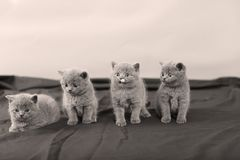 Four kittens portrait, black background,. Newly born British Shorthair kittens portrait, close-up view, on a black and white background, copyspace stock photos