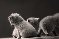 British Shorthair kittens playing together, black background,. Newly born British Shorthair kittens portrait, close-up view, on a wooden background, copyspace stock photo