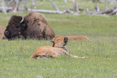 Newly born Buffalo calf in grass Stock Images