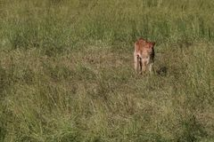 Newly Born Calf royalty free stock images