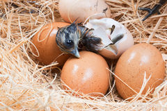 Newly born chick lying beside its brown egg Stock Photography