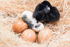 Newly born chick lying beside its brown egg Royalty Free Stock Photos