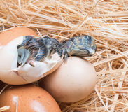 Newly born chick lying beside its brown egg Stock Photos