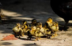 Newly born ducklings grouped together royalty free stock images
