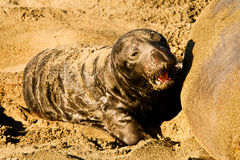 Newly Born Elephant Seal. Newly Born Baby Northern Elephant Seal Searching For Food royalty free stock photo