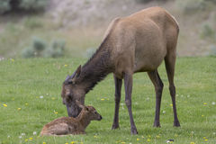 Newly born elk with mother. Mother loving on newly born elk Royalty Free Stock Images