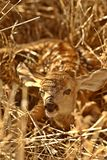 Newly born fawn Stock Photos