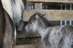 Newly born foal. Tiny newly born miniature horse foal standing with his mother royalty free stock photo