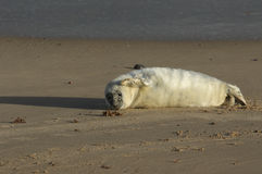 A newly born Grey Seal Halichoerus grypus pup lying on the beach enjoying the sun, waiting for its mum to return from the sea. Royalty Free Stock Photos