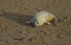 A newly born Grey Seal Halichoerus grypus pup lying on the beach enjoying the sun, waiting for its mum to return from the sea. Stock Photography