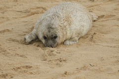 A newly born Grey Seal Halichoerus grypus pup lying on the beach with its nose in the sand , waiting for its mum to return. Stock Photos