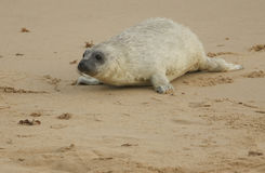 A newly born Grey Seal Halichoerus grypus pup lying on the beach , waiting for its mum to return from the sea . Stock Photography