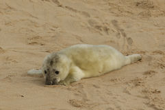 A newly born Grey Seal Halichoerus grypus pup lying on the beach , waiting for its mum to return from the sea . Royalty Free Stock Photos