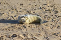 Newly born Grey Seal pup at the breeding grounds. royalty free stock photos