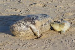 Newly born Grey Seal pup with its mum. Newly born Grey Seal pup, Halichoerus grypus, with its mum at the breeding grounds in North Norfolk Royalty Free Stock Image