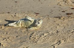 A newly born Grey Seal pup Halichoerus grypus lying on the beach at Horsey, Norfolk, UK. A new born Grey Seal pup Halichoerus grypus lying on the beach at Royalty Free Stock Image