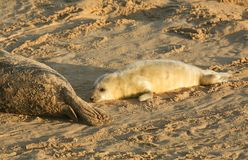 A newly born Grey Seal pup Halichoerus grypus lying on the beach at Horsey, Norfolk, UK. A new born Grey Seal pup Halichoerus grypus lying on the beach at Stock Image