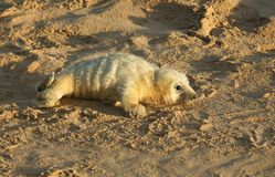 A newly born Grey Seal pup Halichoerus grypus lying on the beach at Horsey, Norfolk, UK. Stock Photos