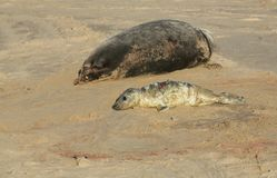 A new born grey seal pup halichoerus grypus lying on the beach near its resting mother at Horsey, Norfolk, UK. Stock Images
