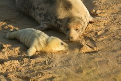 A new born grey seal pup halichoerus grypus lying on the beach near its resting mother at horsey, Norfolk, Uk. A newly born grey seal pup halichoerus grypus Royalty Free Stock Photography