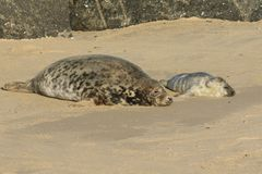 A newly born Grey Seal pup Halichoerus grypus lying on the beach near its resting mother at Horsey, Norfolk, UK. Stock Photography