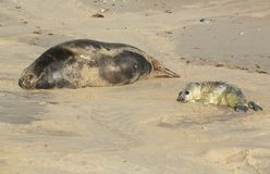 A newly born Grey Seal pup Halichoerus grypus lying on the beach near its resting mother at Horsey, Norfolk, UK. Royalty Free Stock Photography