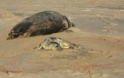 A newly born Grey Seal pup Halichoerus grypus lying on the beach near its resting mother at Horsey, Norfolk, UK. Royalty Free Stock Image