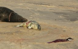 A new born Grey Seal pup Halichoerus grypus lying on the beach near its resting mother, whilst a Turnstone bird eats the afterbi Stock Photos