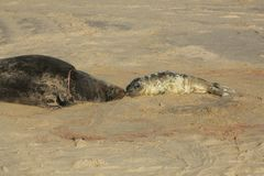 A newlborn Grey Seal pup Halichoerus grypus lying on the beach nose to nose with its resting mother. A newly born Grey Seal pup Halichoerus grypus lying on the Stock Images