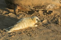 A new born Grey Seal pup Halichoerus grypus lying on the beach on a sunny day at Horsey, Norfolk, UK. Royalty Free Stock Image