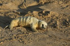 A newly born Grey Seal pup Halichoerus grypus lying on the beach on a sunny day at Horsey, Norfolk, UK. Royalty Free Stock Photos