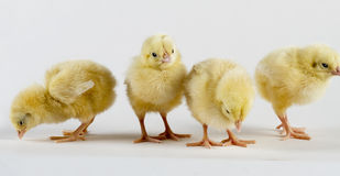 Newly Born Hen Chicks. Four new born hen chicks standing Royalty Free Stock Photo