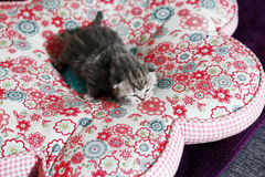 Newly born kitten Royalty Free Stock Image