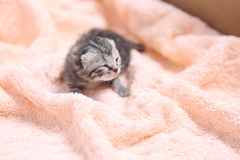 Newly born kitten. Newly born British Shorthair kitten on a soft towel, first day of life, one day old royalty free stock photo