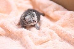 Newly born kitten Royalty Free Stock Photo