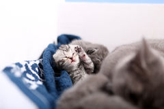 Newly born kitten. Cute newly born kitten, British Shorthair on a blue towel, one day old, first day of life royalty free stock photos